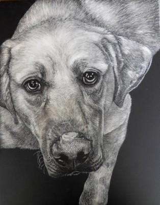 animal scratchboard, pet portrait, kendall king, dog