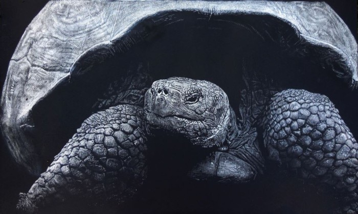 Galapagos tortoise, scratchboard
