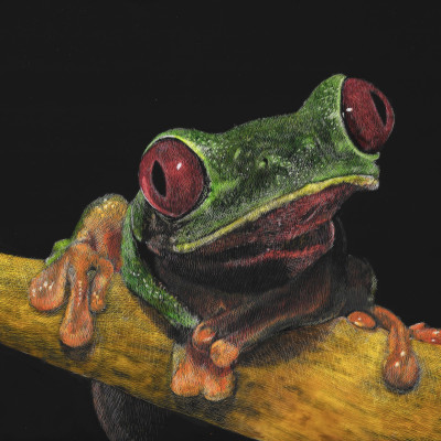 green tree frog, scratchboard, portrait, kendall king