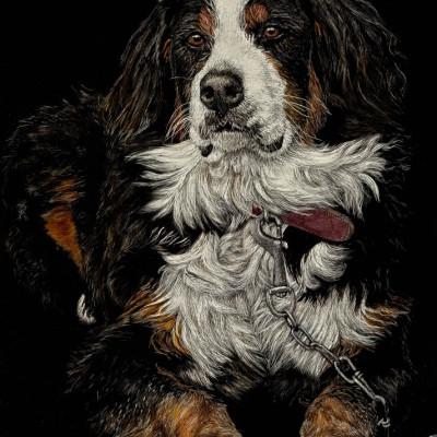 scratchboard, pets, kendall king, dog, bernese mountain dog, pet portrait