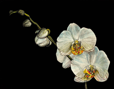kendall king, scratchboard, portrait, other, flower, orchid,