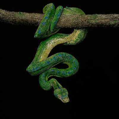 kendall king, scratchboard, animal, snake, green tree python