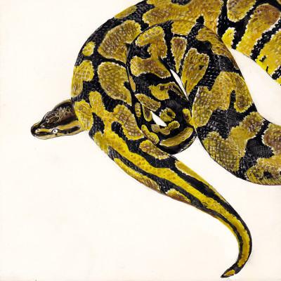 pet snake, scratchboard, snake portrait, pet portrait