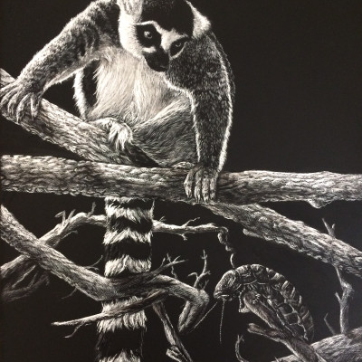 madagascar, lemur, white tailed lemur, black and white, cockroach