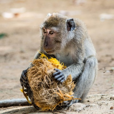 Macaque Munching
