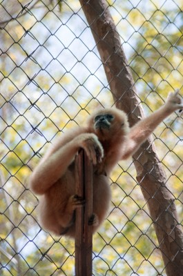 Pink Gibbon