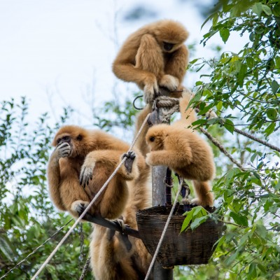 Feeding Gibbons